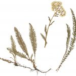 yarrow-2-copy